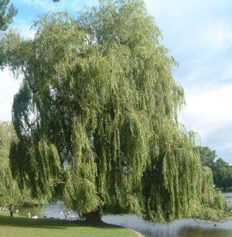 green_willow.jpg