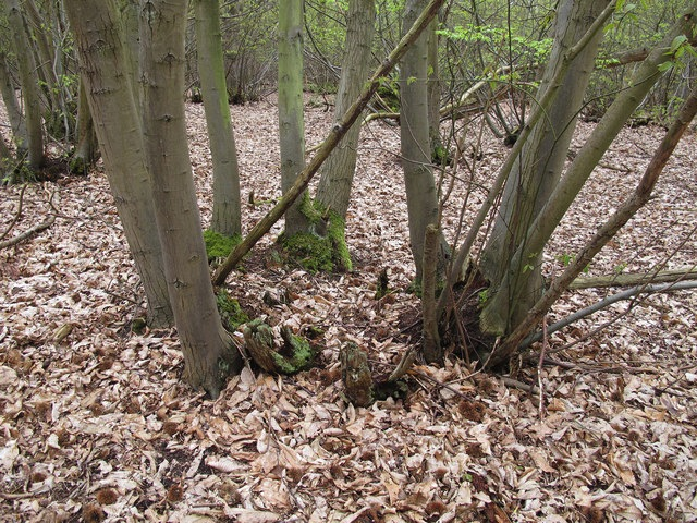 Coppiced sweet chestnut